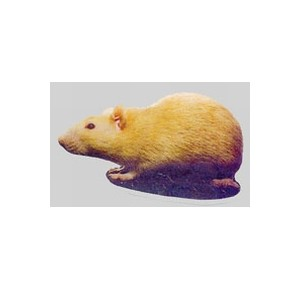 Rat sticker yellow  looking right