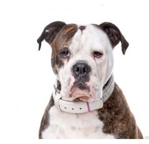 Yourdog Amerikaanse bulldog